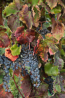 Vineyard Leaves, Tuscany, Italy, International