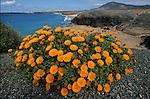 Fleurs devant la plage de Papagayo, une des seules plages de sable blanc de l ile de Lanzarote.