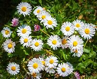 Gaensebluemchen (Bellis perennis), eine Pflanzengattung in der Familie der Korbbluetler (Asteraceae) | Bellis perennis is a common European species of daisy, a genus of flowering plants in the family (Asteraceae)