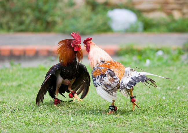 Roosters practice for future cockfights in Santo Domingo, Dominican Republic.