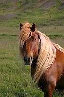 The long-flowing mane of this Iceland horse inspired me to name her Barbie!