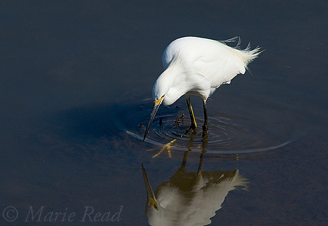 Snowy Egret (Egretta thula) agitating water with its foot to scare out prey, Bolsa Chica Ecological Reserve, California, USA
