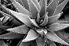 Black and white close-up photo of an aloe plant.