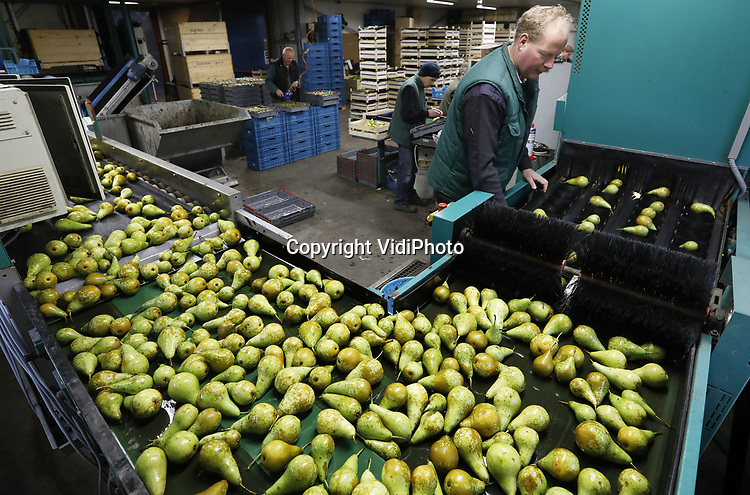 Foto: VidiPhoto<br /> <br /> ANDELST – Drukte aan de sorteerband bij Fruitteeltbedrijf De Meyburg in het Betuwse Andelst maandag. Fruitteler Jan van Olst is een van de weinig fruittelers in ons land waar volop fruit verwerkt wordt. Dat komt omdat hij voor een aantal fruittelers het sorteerwerk doet. Zijn eigen koelcellen zitten nog vol, evenals bij de meeste andere fruittelers. In tegenstelling tot vorig jaar valt er door de enorme oogst aan appels en peren plus aanvoer vanuit België en Polen weinig te verdienen voor telers. Alleen de exclusieve rassen leveren nog geld op. Bovendien zijn de fruitprijzen met nog eens 20 cent gedaald nadat de Volkskrant publiceerde dat Nederlandse kwekers via smokkelroutes en het 'omkatten' van fruit, de Russische groenten- en fruitboycot wisten te omzeilen. Hoewel al lang bekend bij telers en politiek, zorgde deze publiciteit er voor dat fruithandelaren minder fruit durven in te kopen uit angst dat Rusland ook deze omweg afsluit.