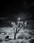 Joshua Tree near Hualapai Mountains, Arizona