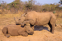 Black Rhinoceroses (Diceros bicornis) two immature rhinos playing--dominance behavior--at a dust bathing spot.