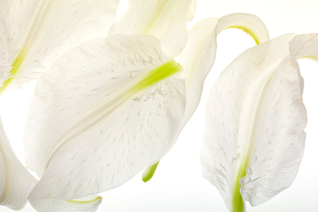 Petals from a white lily flower appear to dance across the frame
