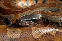 Sumatran Blood Python.