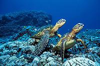 green sea turtles, Chelonia mydas, at cleaning station, Kona Coast, Big Island, Hawaii, USA, Pacific Ocean