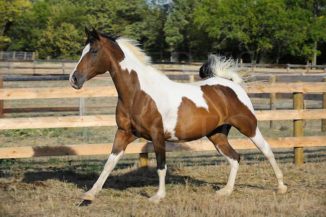 Paint horse running along fence line in pasture, side view of a half Arabian Saddlebred mix moving in summer sunlight.
