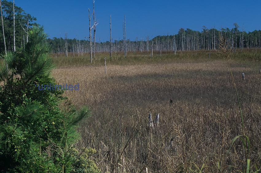 Brackish marsh bordering a tidal creek, North Carolina, USA.