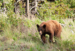 Bears, Coyotes, and Other Carnivores