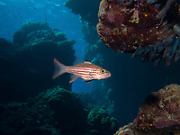 Tiger cardinalfish, Cheilodipterus macrodon, Fury Shoals, Egypt, Red Sea