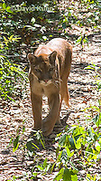 0525-1101  Costa Rican Cougar (Puma), Belize, Puma concolor costaricensis  © David Kuhn/Dwight Kuhn Photography