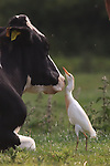 A brave egret catches insects near a cow, with its snatching beak moving dangerously close to the animal's eyes.  The bird, unfazed by the cow's attempts to scare it off as it got too close, remained focused on catching its meal and was spotted waiting for the perfect moment before catching a fly in its beak.<br /> <br /> Amateur photographer Richard Ford pictured the cattle egrets at the edge of Chichester Harbour, West Sussex.  SEE OUR COPY FOR DETAILS.<br /> <br /> Please byline: Richard Ford/Solent News<br /> <br /> © Richard Ford/Solent News & Photo Agency<br /> UK +44 (0) 2380 458800