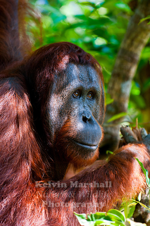 Orangutan (Pongo pygmaeus) - Tanjung Puting National Park, Central Kalimantan Indonesia.