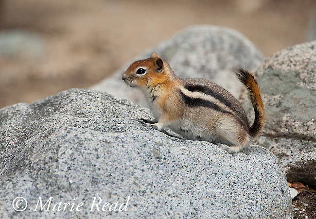 Golden-mantled Ground Squirrel (Spermophilus lateralis), Lee Vining Canyon, Mono Lake Basin, California, USA