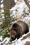 This grizzly bear is foraging for pine nuts in Yellowstone National Park, Wyoming, USA, and January 10th 2009.  Photo by Gus Curtis