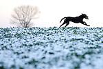 Pix: Shaun Flannery/shaunflanneryphotography.com...COPYRIGHT PICTURE>>SHAUN FLANNERY>01302-570814>>07778315553>>..19th December 2009................Brodsworth Shoot..A black Labrador retrieves a bird.