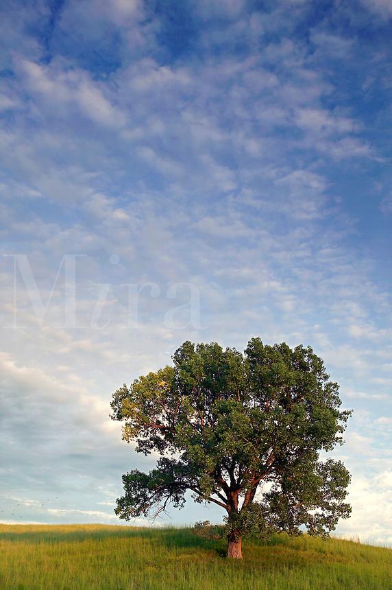 Cottonwood tree, Loess Hills, Plymouth County, Iowa