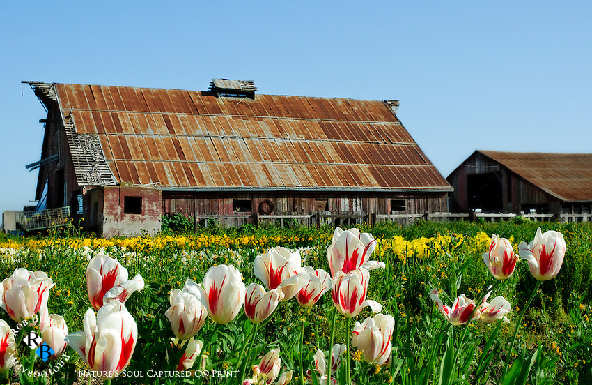 The early morning scene of rows of tulips and the rustic barn at Dutch Hollow Farms in California's central valley