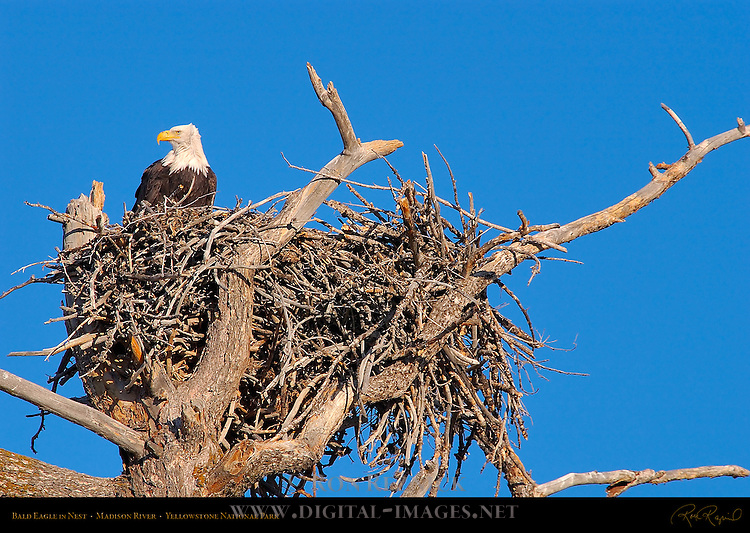 Bald Eagle in Nest, Madison River, Yellowstone National Park