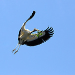 A Woodstork Flies to the nest with a garland of nesting material for it's mate, in Florida, USA.