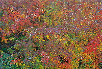 Dogwood shrub in autumn color, Bissett, Manitoba, Canada