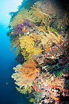 Bligh Waters, Rakiraki, Viti Levu, Fiji; a sheer vertical wall covered in colorful soft corals and sea fans