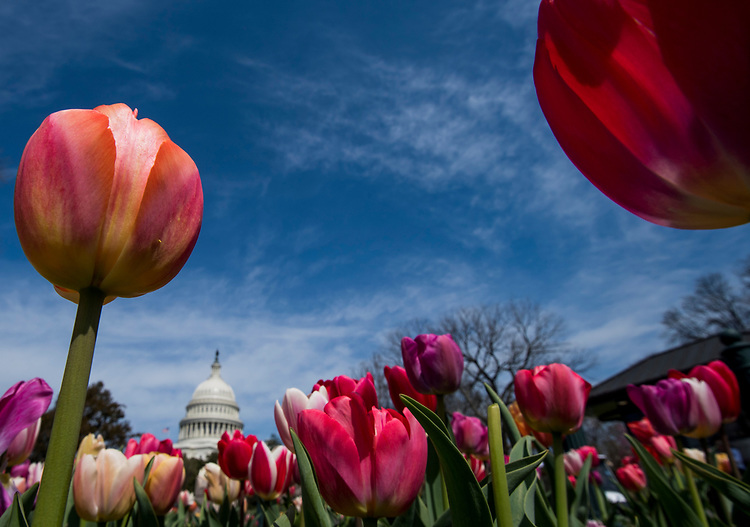 UNITED STATES - APRIL 12: Tulips bloom on the grounds of the U.S. Capitol in Washington on Thursday, April 12, 2018. (Photo By Bill Clark/CQ Roll Call)