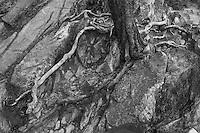 Douglas Fir tree growing on rocky shoreline, Washington