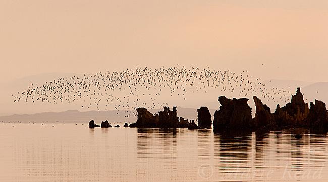 Wilson's Phalaropes (Phalaropus tricolor), flock flying over tufa formations at Mono Lake, just after sunrise, California, USA