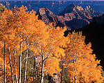 Aspens on the North Rim of the Grand Canyon National Park
