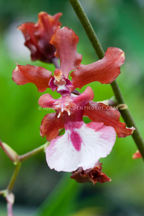 Popular fragrant orchid Oncidium Sharry Baby 'Sweet Fragrance' with one red and white little flower, smells like chocolate