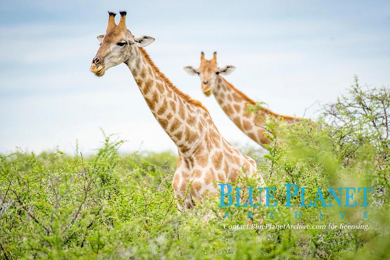 Angolan giraffes, Giraffa giraffa angolensis, grazing in Etosha National Park, Namibia, Africa