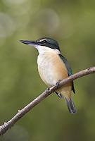 Sacred Kingfisher - Halcyon sancta