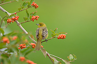 Baltimore Oriole (Icterus galbula), female perched on Berlandier's fiddlewood (Citharexylum berlandieri), South Padre Island, Texas, USA