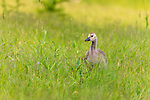 Canada goose  - gosling feeding in a northern Wisconsin field.