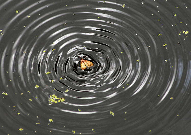 Small Moth encountered making waves in a pond at the OPUS 40 Sculpture Park, in the Town of Saugerties, NY, on Sunday, July 10, 2016. Photo by Jim Peppler. Copyright Jim Peppler 2016.