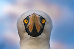 Nazca booby (Sula dadtylatra), Galapagos Islands, Ecuador