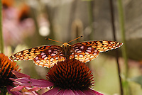 Fritillary Butterfly on a Coneflower