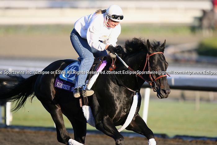 04 November 2009: Einstein gallops in preparation for the Breeders' Cup at Santa Anita Park