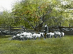 Jerome ID:  Sheep Herder feeding the flock - 1910.  Brady Stewart and three friends went to Idaho on a lark from 1909 thru early 1912.  As part of the Mondell Homestead Act, they received a grant of 160 acres north of the Snake River.  Brady Stewart photographed the adventures of farming along with the spectacular landscapes. To give family and friends a better feel for the adventure, he hand-color black and white negatives into full-color 3x4 lantern slides.  The Process:  He contacted a negative with another negative to create a positive slide.  He then selected a fine brush and colors and meticulously created full color slides.