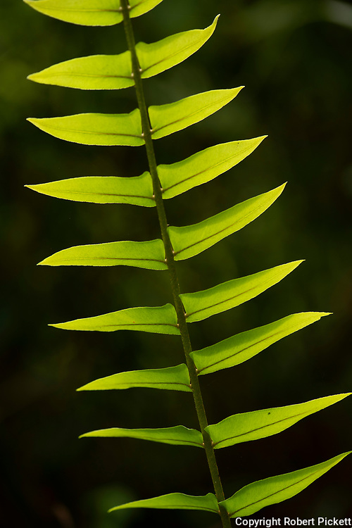 Green Fern Leaves, backlight by sunshine, Sinharaja World Heritage Site, Sri Lanka,