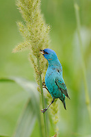 Indigo Bunting (Passerina cyanea) male feeding on Manchurian wild rice (Zizania latifolia), Port Aransas, Mustang Island, Coastal Bend, Texas Coast, USA