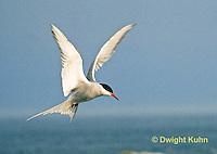 MC59-042z  Arctic Tern - flying above island - Machias Seal Island, Bay of Fundy - Sterna paradisaea