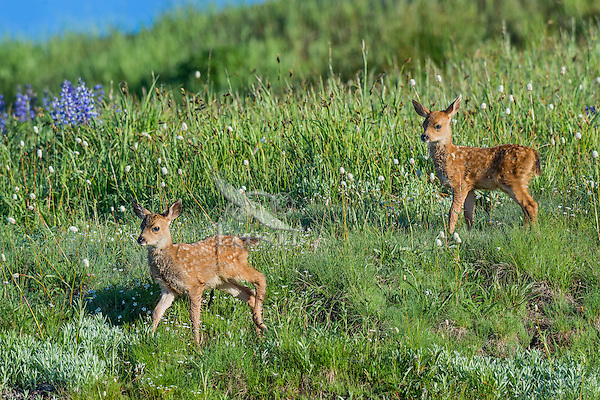 Columbian black-tailed deer (Odocoileus hemionus columbianus) fawns in subalpine meadow. Pacific Northwest.  Summer.