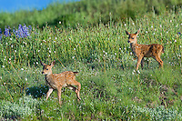 Columbian black-tailed deer (Odocoileus hemionus columbianus) fawns in subalpine meadow. Pacific Northwest.  Summer.
