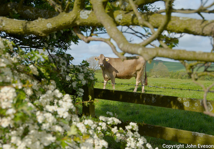 Brown Swiss cow and May blossom, Whitewell, Lancashire.