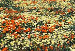Wildflowers, California